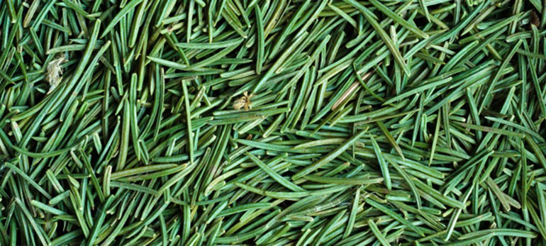 Detail of green spruce needles texture; Shutterstock ID 93578281; PO: The Huffington Post; Job: The Huffington Post; Client: The Huffington Post; Other: The Huffington Post