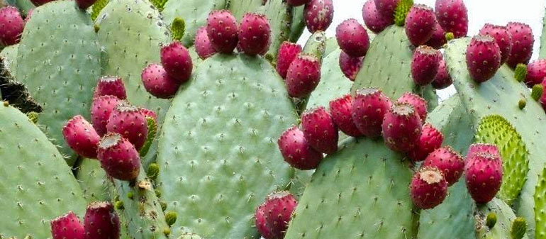 The Prickly Pear Cactus Produces Energy Sparta Capital