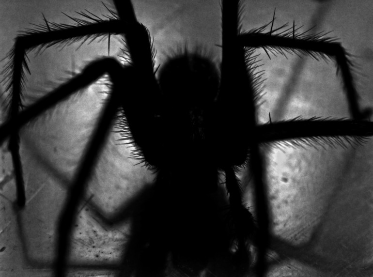 Black widow spiders and Climate Change